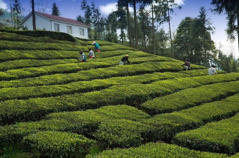 Çay Üretimi, Tea Production