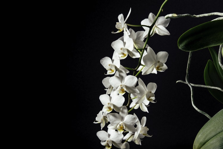 Orkide budama, Orchid pruning