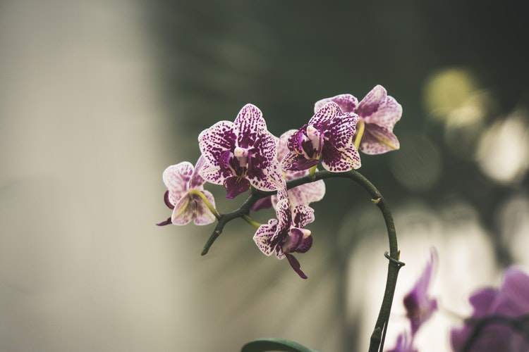 Orkide, Orchid