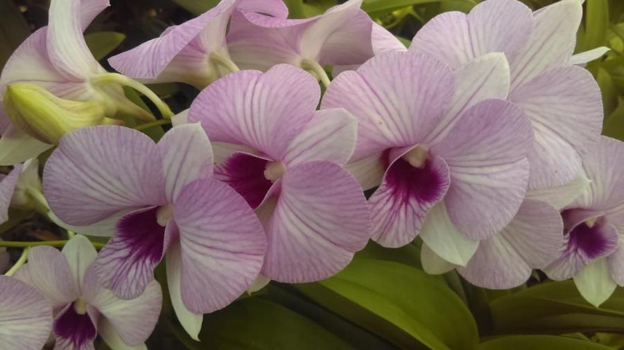 Orkide, Dendrobium