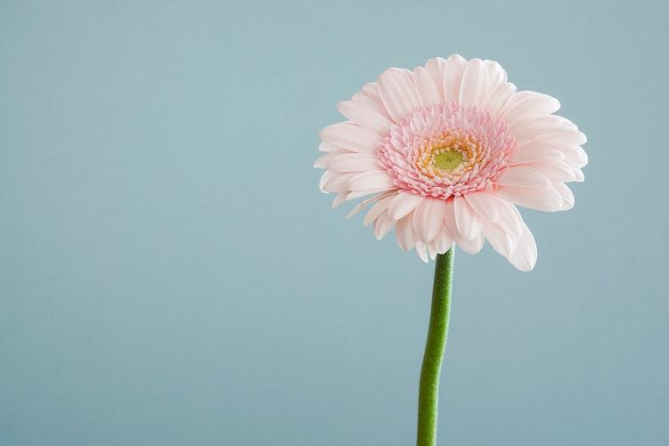 Gerbera Çiçeği, Gerbera Flower