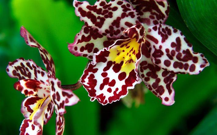 Orkide, Tiger Orchid