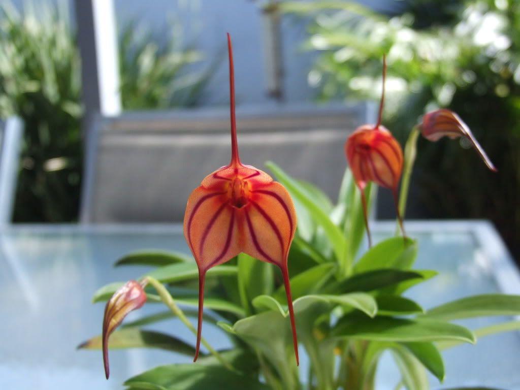 Masdevallia Orkidesi, Masdevallia Orchid