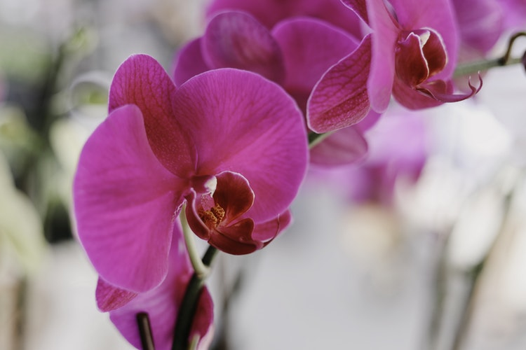 Fuşya Orkide, fuchsia orchid