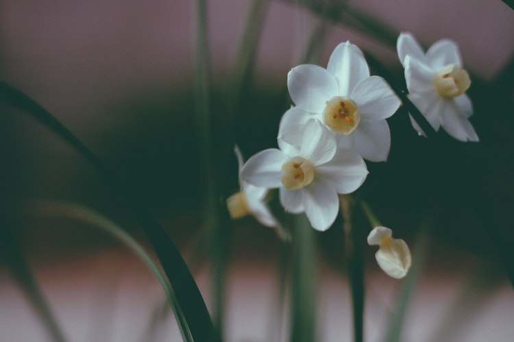 Nergis Çiçeği, Narcissus flower