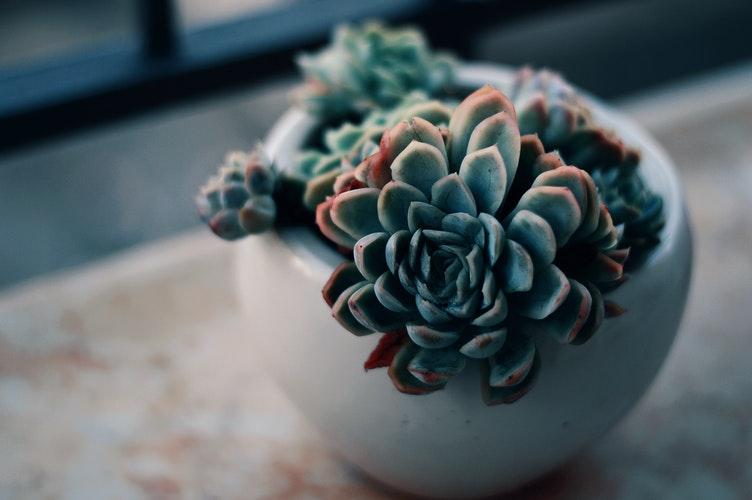 Sukulent, Succulent