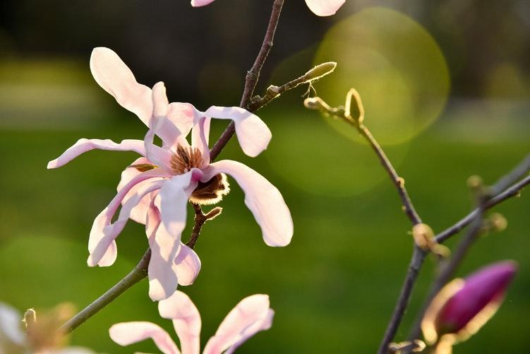 Tavşantopuğu, Orchis Italica