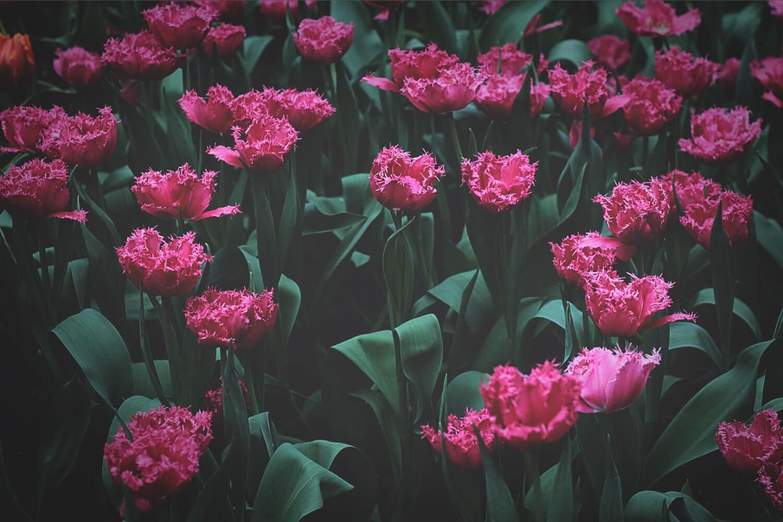 karanfil, carnation