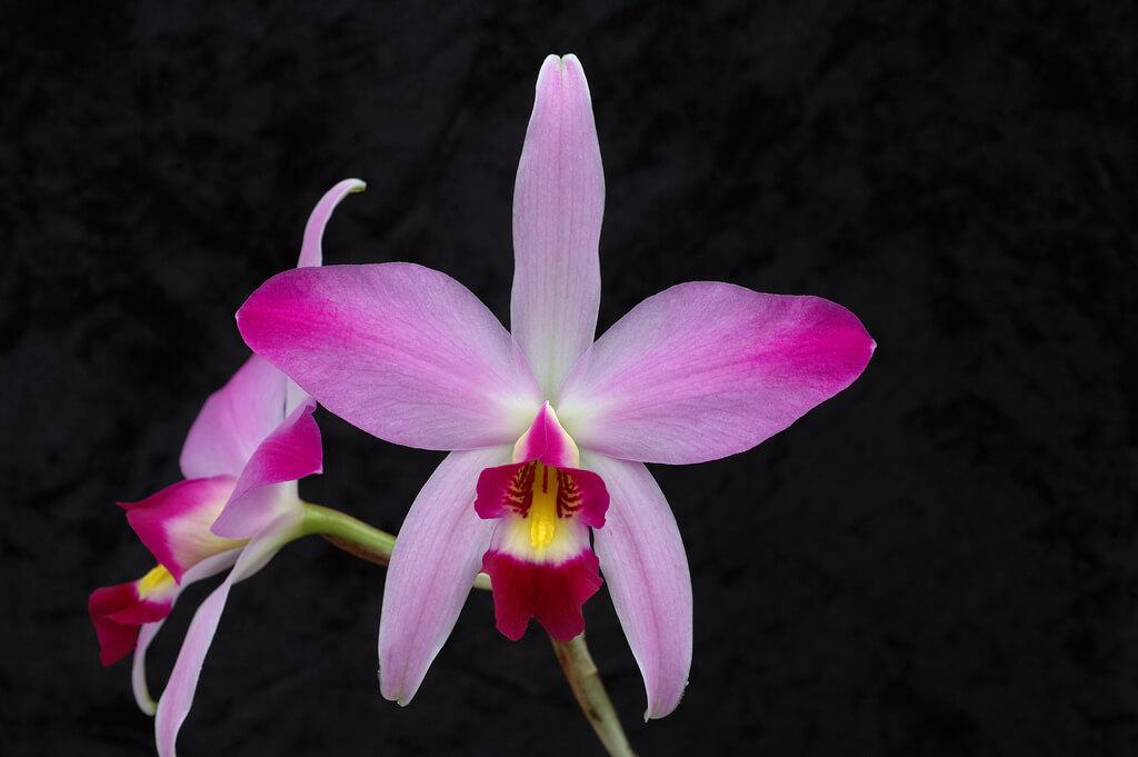 Orkide, Laelia
