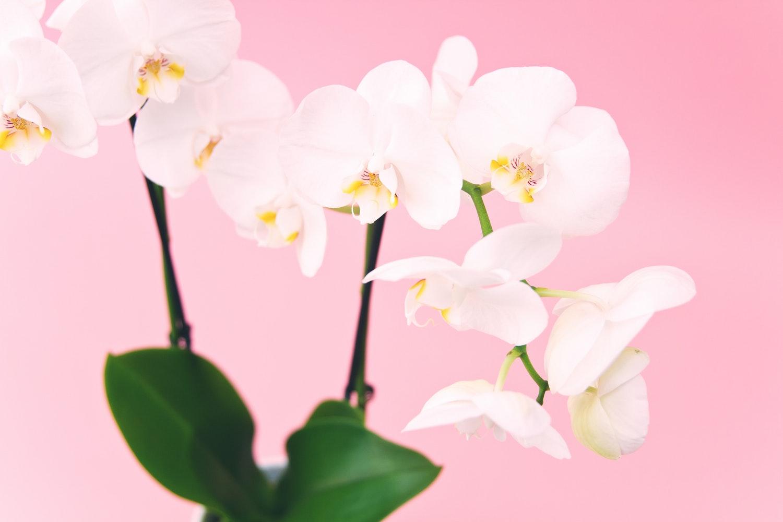 orkide çiçeği, orchid flower