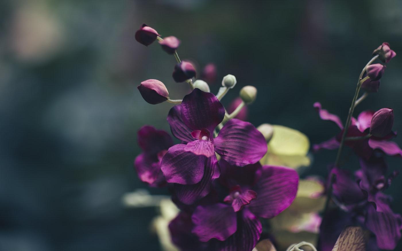 Mor orkide, purple orchid