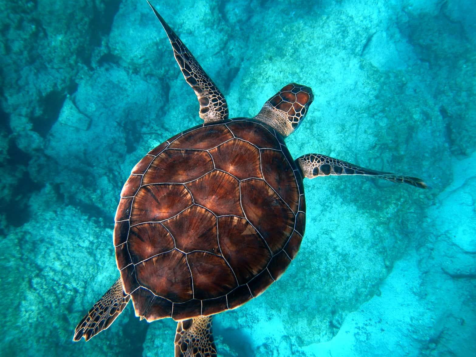 Kaplumbağa, Turtle
