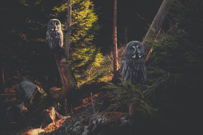 Baykuş, Owl