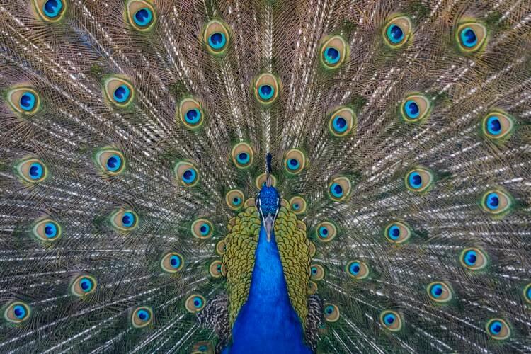 Tavus Kuşu, Peacock