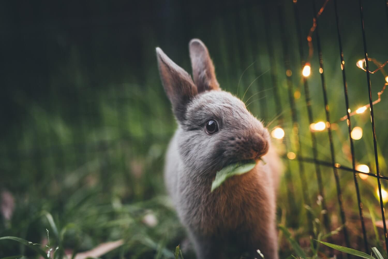 Tavşan, Rabbit