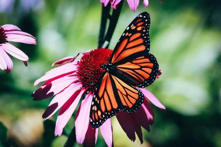 Kelebek, Butterfly