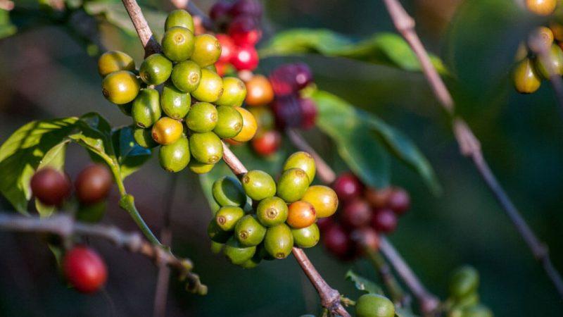 colombia-supremo-kahvesi-özellikleri