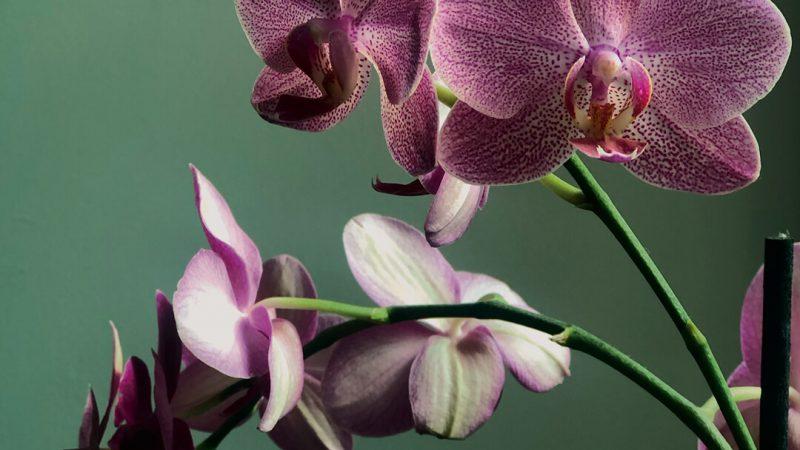 kadinlar-gunu-orkide