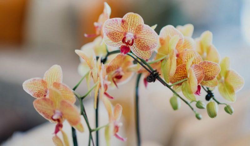 kaplan-orkidesi-muhiku