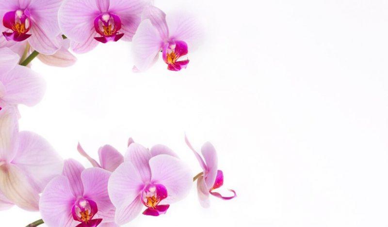 orkide-cicegi-muhiku-blog