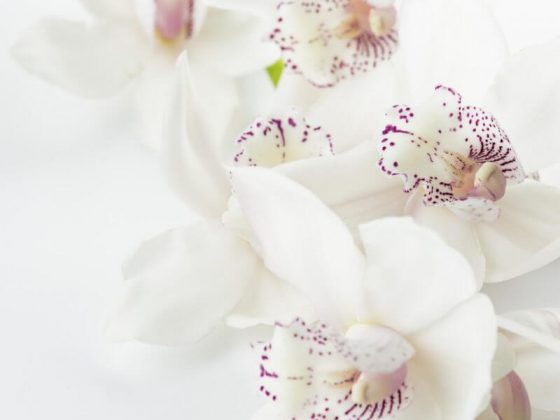 orkide-orchid