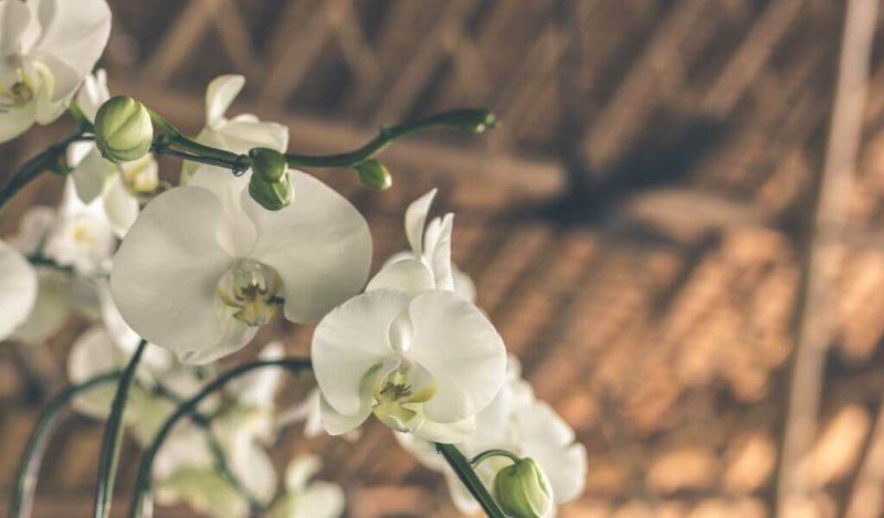 orkide-turleri-orchid-muhiku