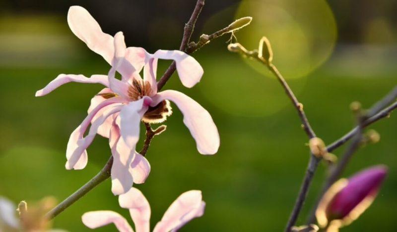 tavsantopugu-orchis-italica-muhiku