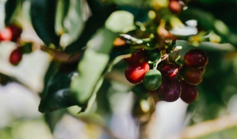 bolgelerine-gore-guatemala-kahvesi