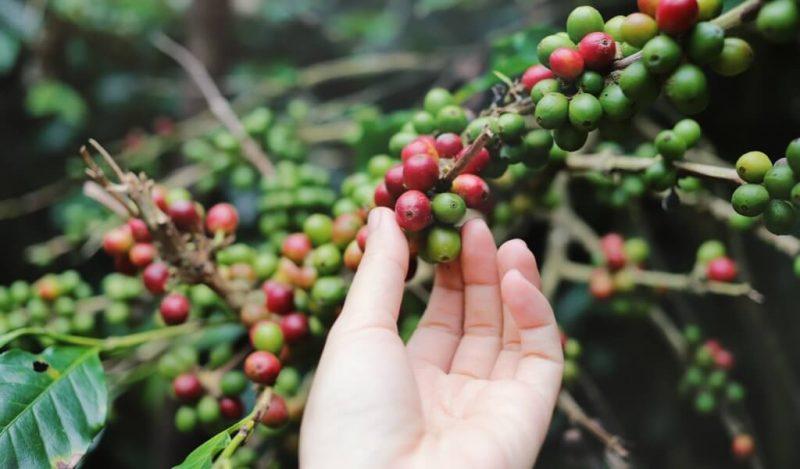en-iyi-honduras-kahveleri-nasil-yetişir